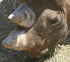 Black Rhinoceros Head (FitchDnld) Tags: ohio black animal mammal zoo cleveland clevelandohio rhino rhinoceros blackrhino blackrhinoceros clevelandzoo clevelandmetroparkszoo metroparks clevelandmetroparks