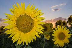 Girasol (JOSE C.P.) Tags: espaa landscape atardecer landscapes spain paisaje andalucia amarillo sunflower andalusia girasol lebrija spqin