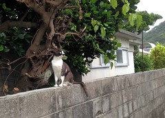 2014-05-30 18.34.55 (MaoPoPo & BiangBeiBei) Tags: japan cat  zamami