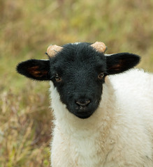 Black-Faced Sheep Lamb (suerob) Tags: cute skye wool animal mammal scotland sheep horns cuddly lamb blackfaced