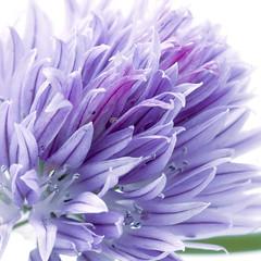 flower of chive (Wendy:) Tags: flower macro purple highkey edible herb chive
