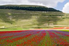 IMG_6413 (pommidoro) Tags: fiori norcia castelluccio fioritura lenticchie castellucciodinorcia pommidoro lenticchia