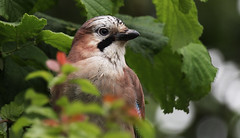 Jay (williamgeorge92) Tags: blue portrait bird birds jay wildlife birding stripe shy hidden poised