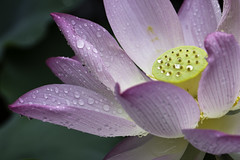 Tender Kisses By The Rain (johnshlau (have been away...catching up:-)) Tags: park morning pink sun flower macro nature water beauty rain garden shower hongkong dawn early droplets petals drops pond flora kissing lotus earlymorning kisses sprinkles rainy pinkflower raindrops elegant waterdrops newterritories lotusflower earlyhours shingmun kwaichung pinklotusflower shingmunvalleypark flowerafterrain kissedbytherain tenderkisses sprinklesofshower