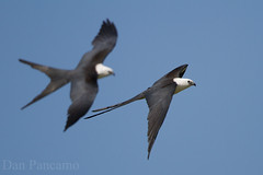 Swallow-tailed Kites of Dayton Texas (Dan Pancamo) Tags: bird nature birds liberty texas july dayton 2014 swallowtailedkite canon7d canon14xiii canon500mmf4isii