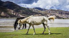 Тибетские лошади