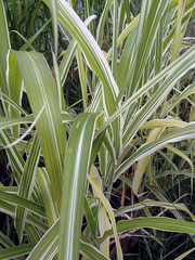 Miscanthus sinensis 'Cosmopolitan'