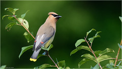 Cedar Waxwing 2 (Chris Lue Shing) Tags: summer ontario canada tree bird nature aurora newmarket cedarwaxwing mckenziemarsh nokiidaatrail nikond7100 chrislueshing tamronsp150600mmf563divcusd