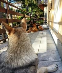 Buongiorno! (fa.biola) Tags: portrait cane ritratto amore cani pastoretedesco lupocecoslovacco