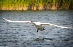 Take off (Eiona R.) Tags: wales swan unitedkingdom burryport wfcburryport2014