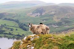 Sheep on Carling Knott (Dingbat!) Tags: sheep lakeland carlingknott