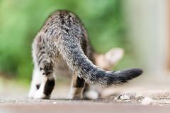 Cat (428sr) Tags: green cat nikon dof bokeh tabby tail kittens neko nikkor cattail straycat d800 tabbycat