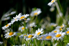 DSC_4446 (claymore2211) Tags: flowers white daisies dof bokeh many winner friendlychallenges ultrahero thechallengefactory superherochallenges