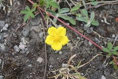 Potentilla reptans (Cefn Ila) Tags: limestone grassland monmouthshire potentillareptans rogiet