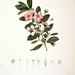 Hill Gooseberry. Rhodomyrtus tomentosa (Aiton) Hassk. Choix des plantes rares ou nouvelles (1863-1864)