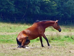 Pferd steht auf (mama knipst!) Tags: horse animal cheval natur cavallo pferd tier