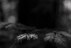 leads you here despite your destination (Super G) Tags: trees blackandwhite bw sunlight forest soft day branch bokeh fineart grain needle redwood filteredlight nikon221