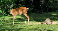 A Typical Day... (Lisa Zins) Tags: nature animals backyard tn tennessee wildlife deer raccoon wildanimals backyardcritters tennesseewildlife lisazins tnwatchablewildlife tnwildlife