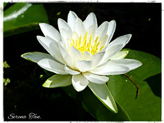 White Water Lily (Through Serena's Lens) Tags: waterlily awesome blossoms