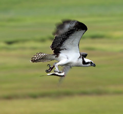 Initial fly-by (fishhawk) Tags: fish flying osprey pandionhaliaetus grassysoundnj