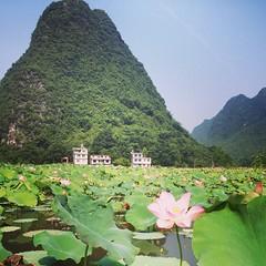 #lotus flower in #yangshuo #china