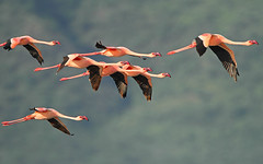 Firebirds in flight! (Rainbirder) Tags: kenya ngc lesserflamingo phoenicopterusminor lakebogoria phoeniconaiasminor rainbirder