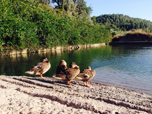 Patos en la balsa de la fuente larga