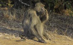 The Thinker (philnewton928) Tags: chacmababoon baboon primate monkey papioursinus mammal animal animalplanet wild wildlife nature natural bateleur kruger krugernationalpark africa southafrica outdoor outdoors safari nikon nikond7200 d7200