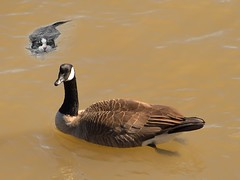 Muddy Waters (swong95765) Tags: water river muddy bird goose cat swim chase humor funny
