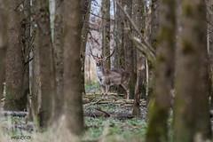4D3A7785 (marcwalter1501) Tags: damadama daim forêts animaux selestat illwald 5dmk4 canon cervidé