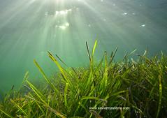 El bosque del Mediterráneo (Xavier Mas Ferrá) Tags: bosque mediterráneo mediterraneansea ocean sun water underwater ibiza eivissa balears posidonia posidoniaoceanica pradera flora floradeibiza patrimoniomundial