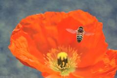 ポピーと蜂さん / Poppy and bee. (March Hare1145) Tags: 日本 japan ポピー poppy 蜂 bee 虫 insect flower 花 plant 植物