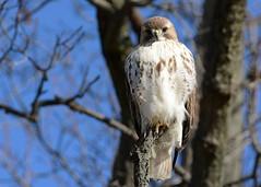 Red-tailed Hawk (JDA-Wildlife) Tags: birds birdsofprey raptors hawks hawkredtailed redtailedhawk nikon nikond7100 tamronsp150600mmf563divc jdawildlife johnny portrait eyecontact wow gorgeous