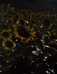 mélancolie (Ludovica Vailati) Tags: flower darkness summer sadness gloomy sunflower contrast lights shadow sun light mélancolie