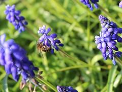 Bee-eautiful Bokeh (JulieK (enjoying Spring in Co. Wexford)) Tags: hbw hww honeybee graphhyacinth flower 100flowers2017 colcloughwalledgarden flora fauna 2017onephotoeachday beautifulnature ireland irish wexford canoneos100d bokeh