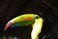 Perfil (GabrielGuandique) Tags: toucan bird tropical tropico