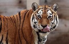 amurtiger Colinda Ouwehands BB2A1595 (j.a.kok) Tags: amurtiger amoertijger tijger tiger siberischetijger siberiantiger pantheratigrisaltaica kat cat asia azie colinda ouwehands ouwehandsdierenpark