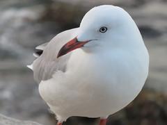 Silver Gull (jdf_92) Tags: australia sydney bird gull silvergull chroicocephalusnovaehollandiae