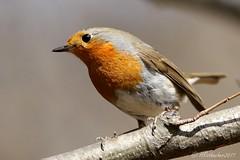 Rougegorge familier-  Erithacus rubecula (aiglonne) Tags: rougegorge familier erithacus rubecula suisse romande vaud plaine du rhône wild birds oiseaux aves