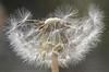 Intrappolata...dentro (Cammino & Vivo Capovolto ☆ Claudio ☆) Tags: dream dandelion soffione particolare closeup macro luci light natura nature sogni sogno intrappolatadentro claudiol mistero bokeh
