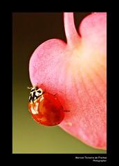 Joaninha (I) (Marcos Teixeira de Freitas) Tags: bug insect inseto brasil brazil outono fall autumn marcosteixeiradefreitas 50d 100mm canon ladybug joaninha closeup photoscape