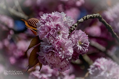 A billow of blossom (ChrisKirbyCapturePhotography) Tags: blossom bloom pink pinkblossom ravenscourtpark londongardens london