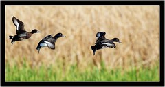 TUFTED DUCKS (PHOTOGRAPHY STARTS WITH P.H.) Tags: ham wall somerset nikon tufted ducks