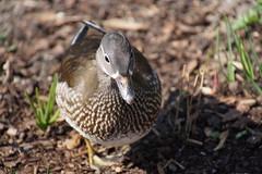 Female Mandarin Duck / Mandarinente / Aix galericulata (Mc Steff) Tags: female mandarinduck mandarinente mandarin aixgalericulata weibchen duck ducks ente enten