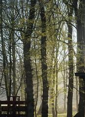 Frühlingslaub; Bergenhusen, Stapelholm (86) (Chironius) Tags: stapelholm bergenhusen schleswigholstein deutschland germany allemagne alemania germania германия niemcy gegenlicht frühling baum bäume tree trees arbre дерево árbol arbres деревья árboles albero árvore ağaç boom träd laub