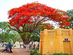 Quand l'arbre à palabres est un flamboyant ! (www.nathalie-chatelain-images.ch) Tags: afrique africa sénégal dakar gorée tree flamboyant flametree couleur color rouge red nikon