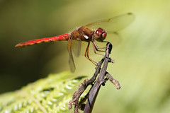 Cardinal Meadowhawk (Cameron Eckert) Tags: ode dragonfly odonata meadowhawk redredredred costarica ecosystem ecological ecology expedition explore ecologicalmonitoring conservation colour climatechange biodiversity beauty flight freedom insect