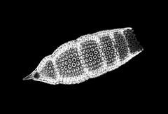 Radiolarian - Eucyrtidium sp. (Picturepest) Tags: radiolarie radiolaria radiolarian polycystinea strahlentierchen fossil fossile skeleton skelett protist protists protisten einzeller unicellular protozoa protozoen protozoe plankton marine saltwater meer mikroskop mikrofotografie mikrofoto microscop microphotography micro mikro dark photomicrography schwarzweis schwarzweiss sw blackwhite bw blackandwhite monochrome einfarbig twartwit noir