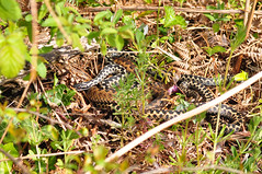 Mating Adders (Sky and Yak) Tags: adder viper vipera berus snake serpent nature dorset reptilesandamphibians reptile