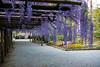 DSC_1694 (sayo-tsu) Tags: 藤 wisteria 牛島のフジ 春日部市 埼玉県 kasukabe saitama 特別天然記念物